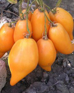 томат буратино фото