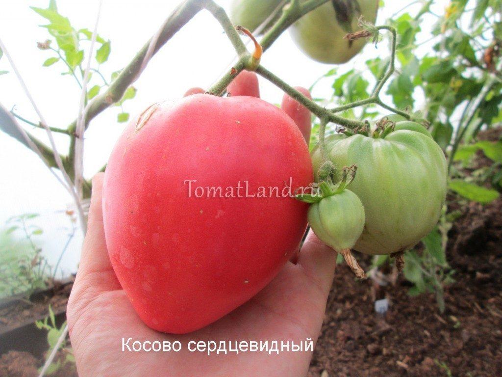 помидоры Косово сорт