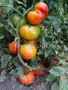 помидоры сорт Деревенские