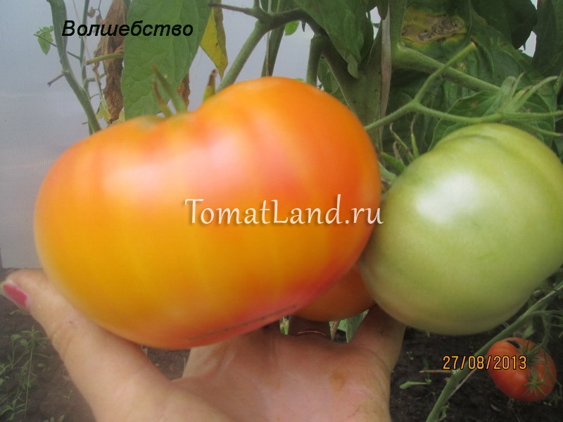 помидоры сорт интуитивная прозорливость фото
