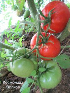 помидоры сорт Космонавт волков