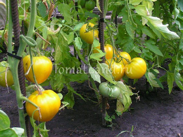 Сорт помидоров золотой купол