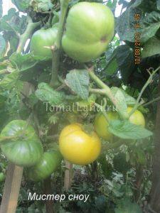 помидоры Мистер сноу