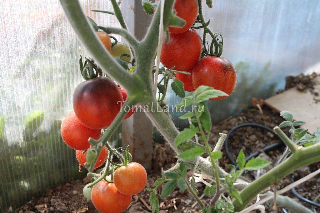 помидоры пушистая голубая сойка