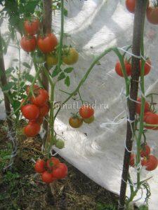 помидоры анталия f