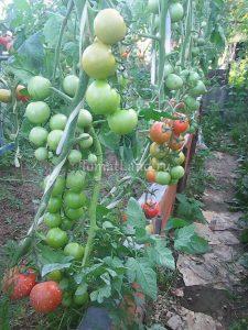 помидоры Бонония отзывы