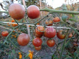помидоры Диковинка отзывы