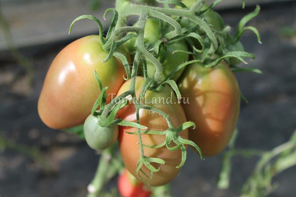 помидоры Дульсинея фото