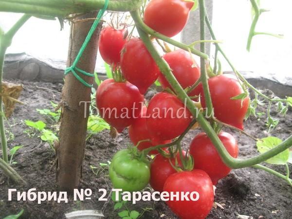 помидоры Тарасенко отзывы фото