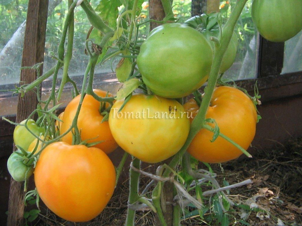 помидоры гигант лимонный фото