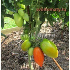 помидоры сорт Челнок