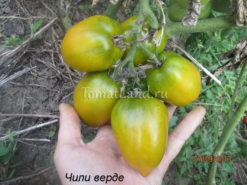 помидоры сорт Чили Верде