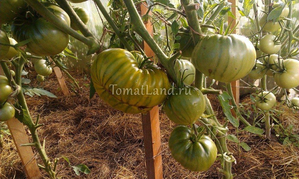 помидоры сорт ирландский ликер фото