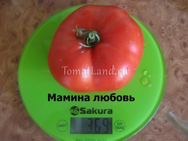 помидоры Мамина любовь фото
