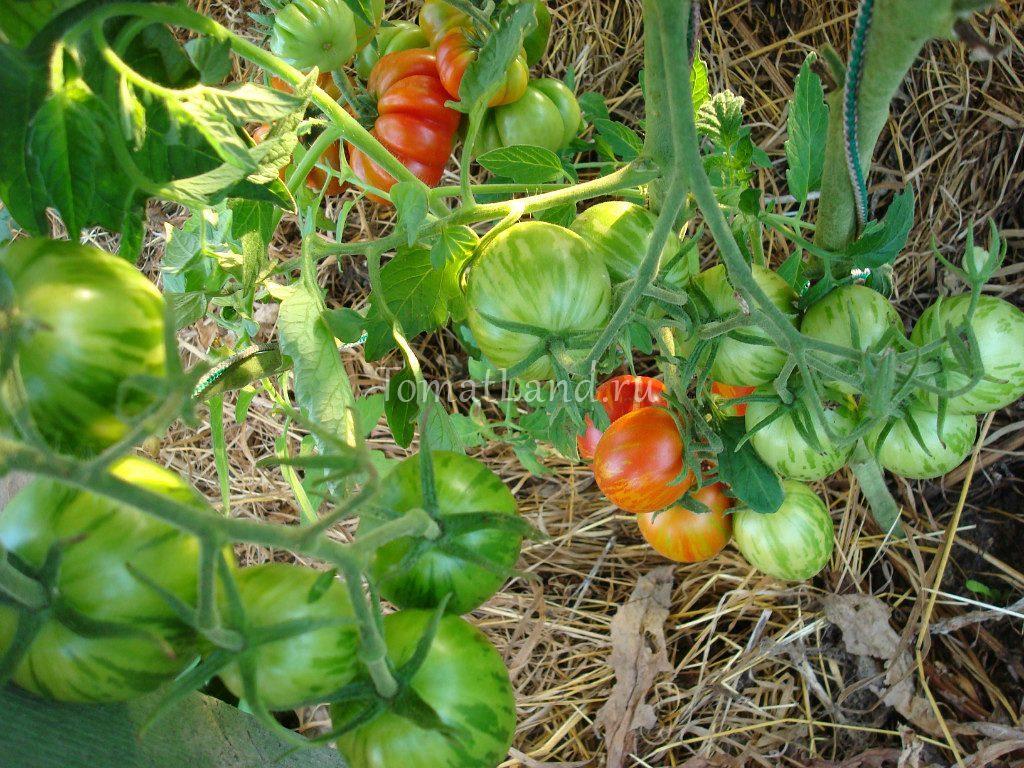 помидоры пасхальное яйцо
