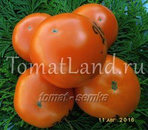 томат реликвия из уссурийска