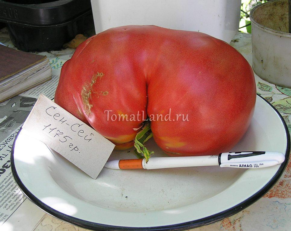 томат Сенсей фото плода