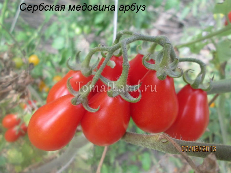помидоры сербская медовина арбуз фото