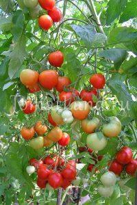 томат гибрид №2 тарасенко