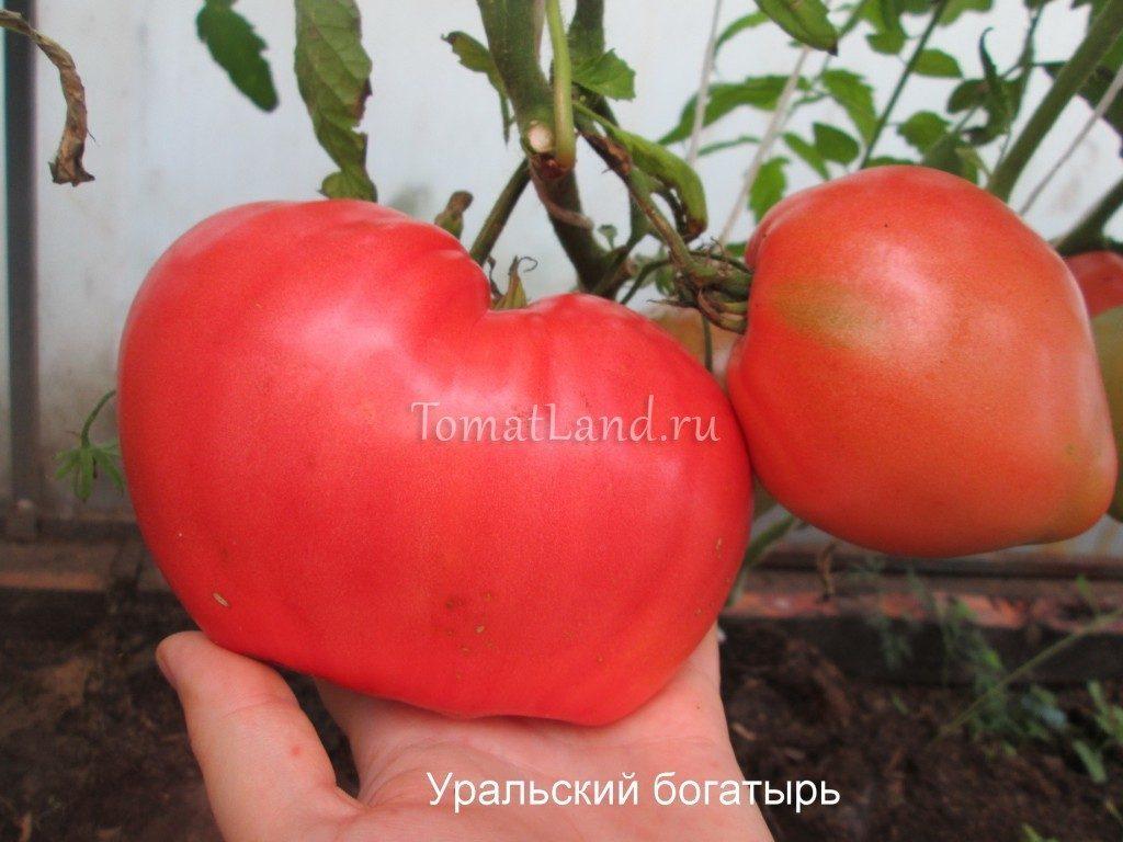 помидоры Уральский богатырь фото спелых плодов