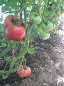 помидоры сорт Выставочные