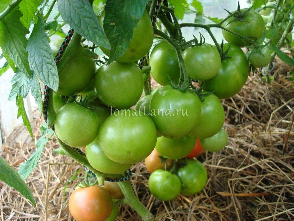 помидоры Биг Биф