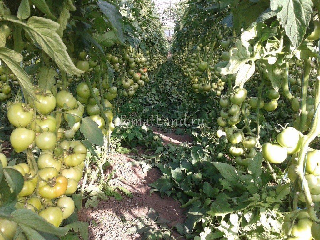 помидоры Махитос фото