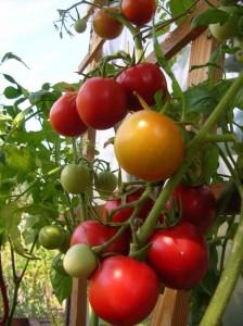 помидоры Ричи F1