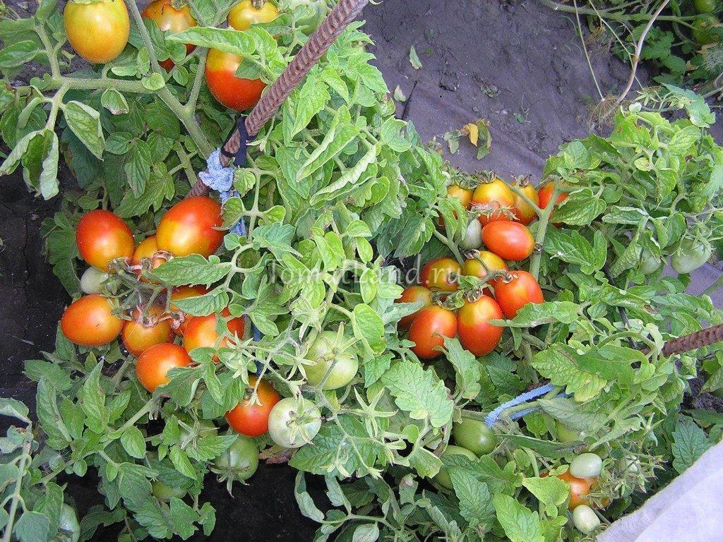 помидоры Акварель фото куста
