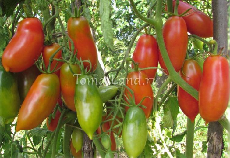 помидоры алые свечи фото куста