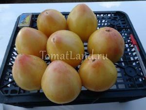 помидоры белая вишня