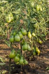 сорт помидор Изумрудная груша
