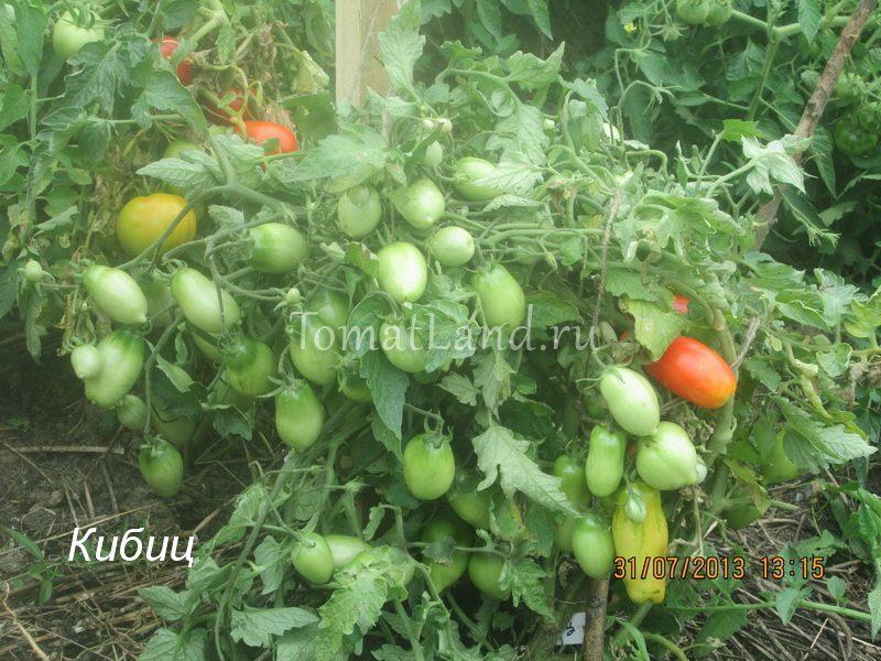 помидоры Кибиц фото куста
