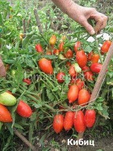 помидоры сорт Кибиц фото спелых плодов