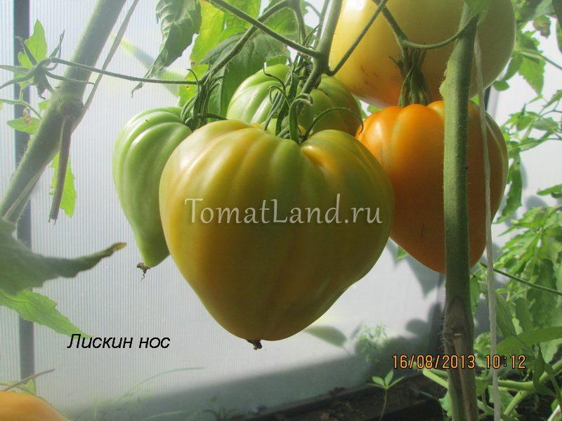 помидоры лискин нос фото