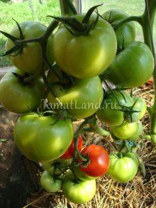помидоры Любовь