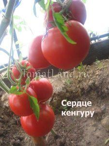 помидоры сердце кенгуру