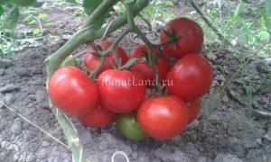 помидоры Матиас фото