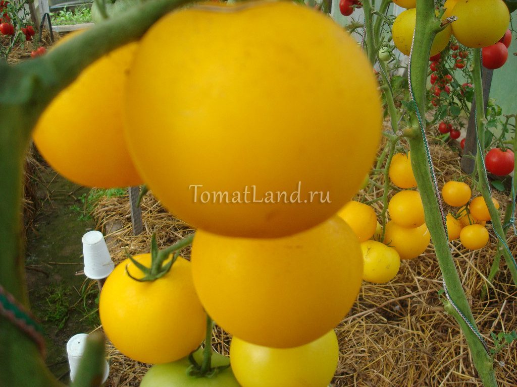 помидоры сорт Янтарный