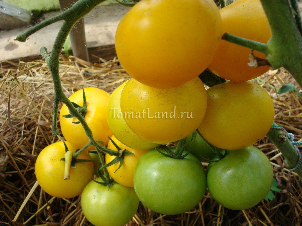 помидоры Лимоновый мальчик фото спелых плодов