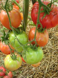 помидоры розовый спам фото куста