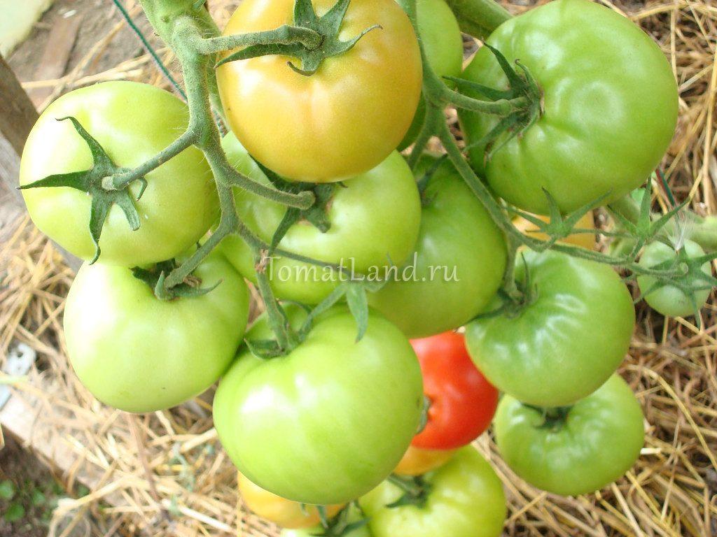 помидоры Ураган фото