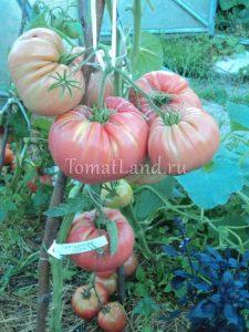 помидоры болгарская хала отзывы
