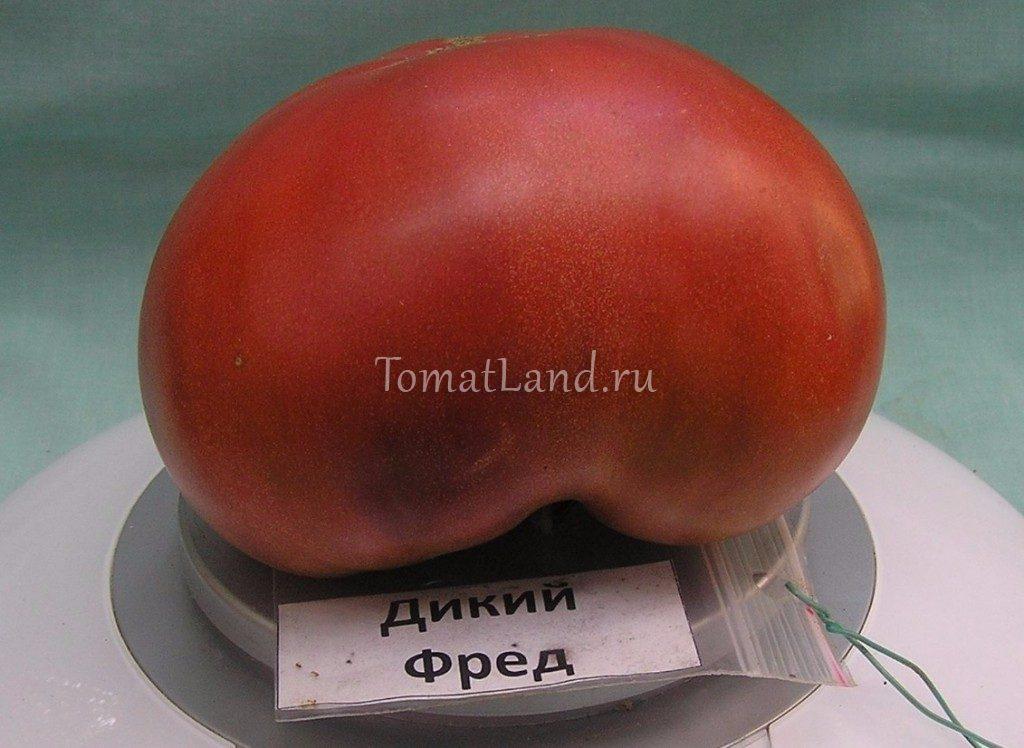 томат Дикий Фред фото