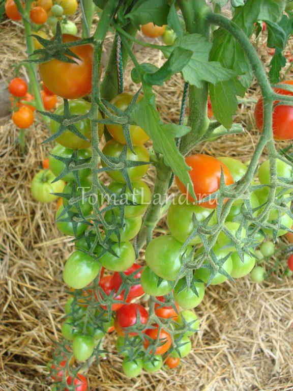 Сорт томатов июньские
