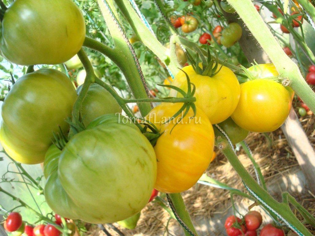 помидоры КВХ фото