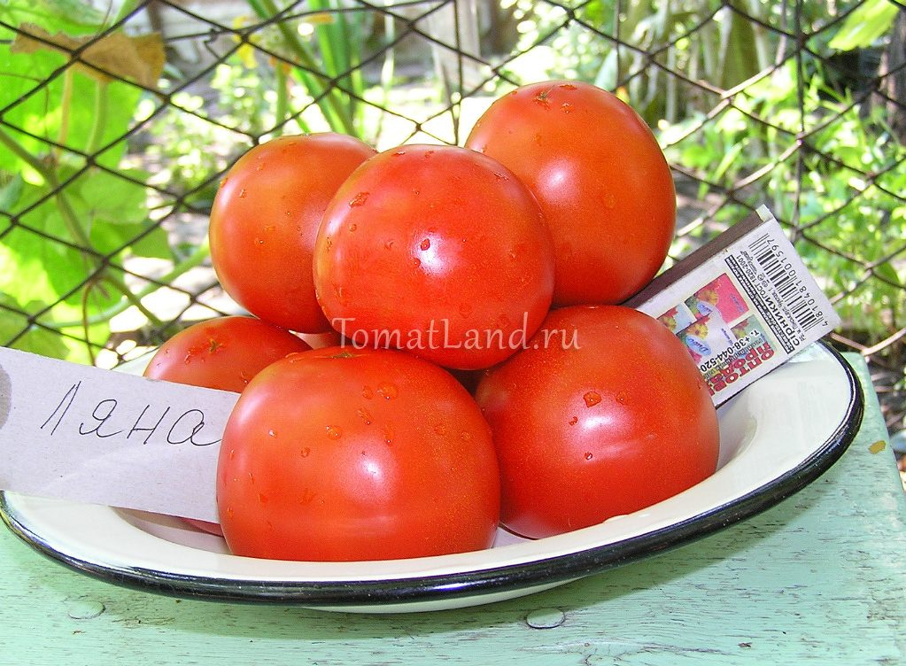 томат Ляна фото спелых плодов