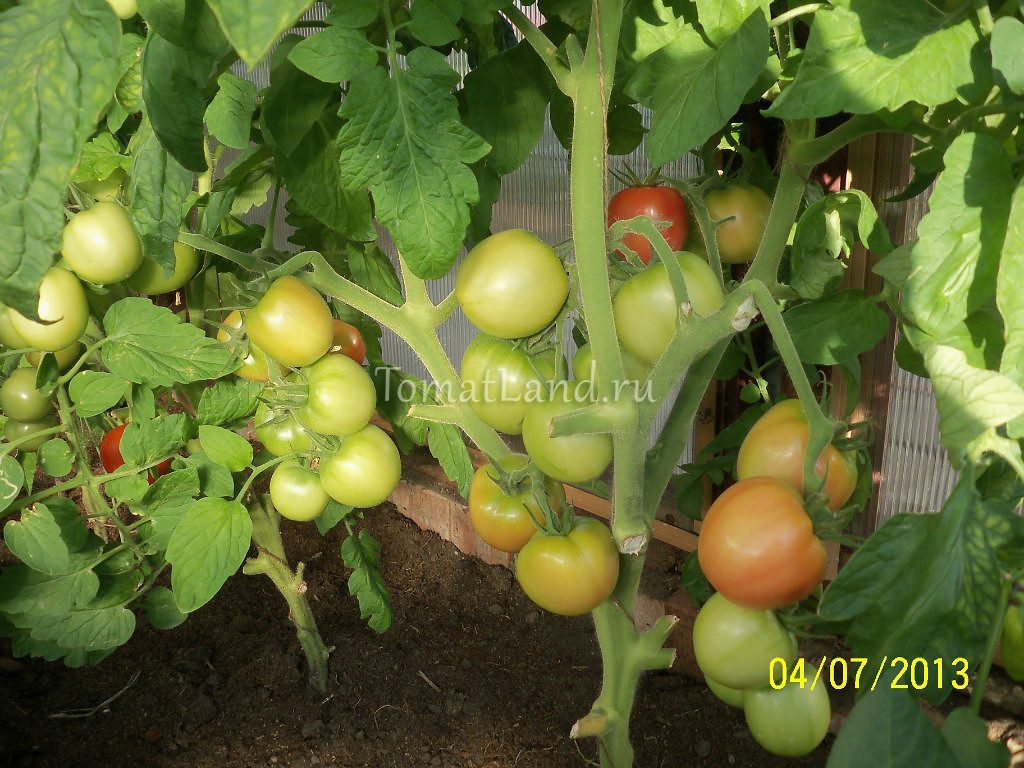 помидоры Ляна фото куста
