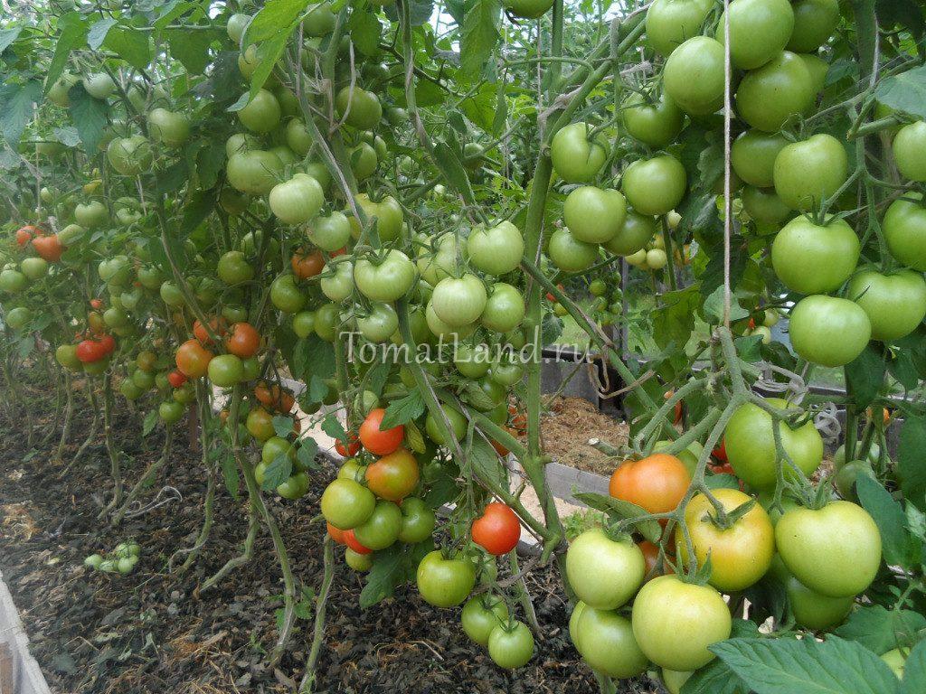 помидоры Леопольд фото
