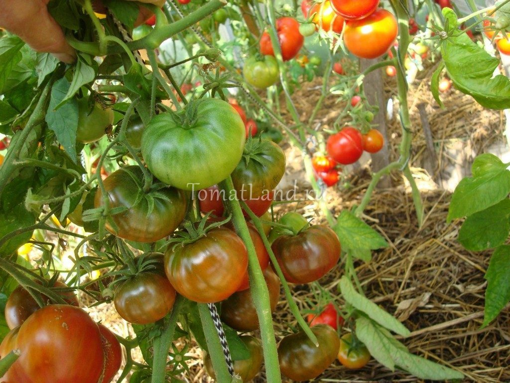 помидоры Великий Мао фото куста